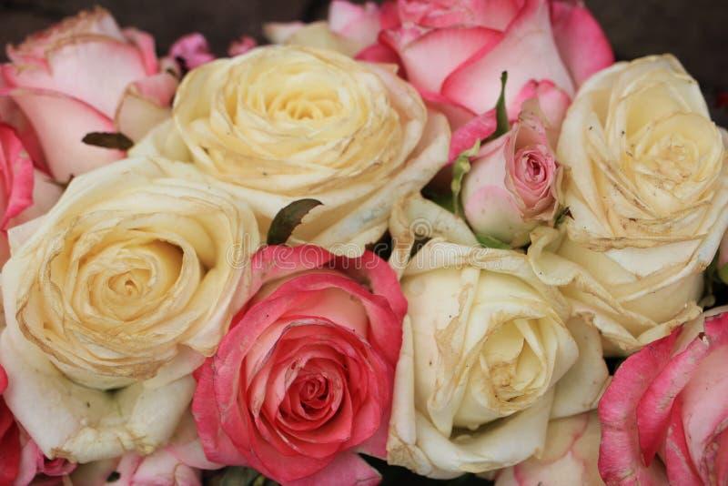 混杂的桃红色和白玫瑰 库存照片