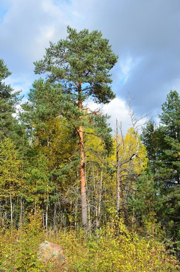 Download 混杂的森林由杉树,卡累利阿控制了 库存图片. 图片 包括有 平安, 黄色, 的treadled, 森林, 横向 - 62528403