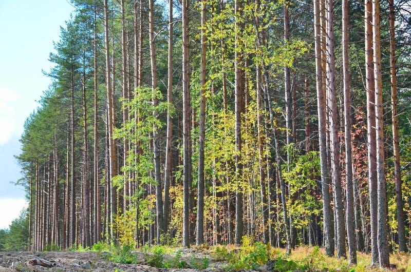 Download 混杂的森林由杉树,卡累利阿控制了 库存图片. 图片 包括有 没人, 自治权, 森林, 的treadled - 62528983