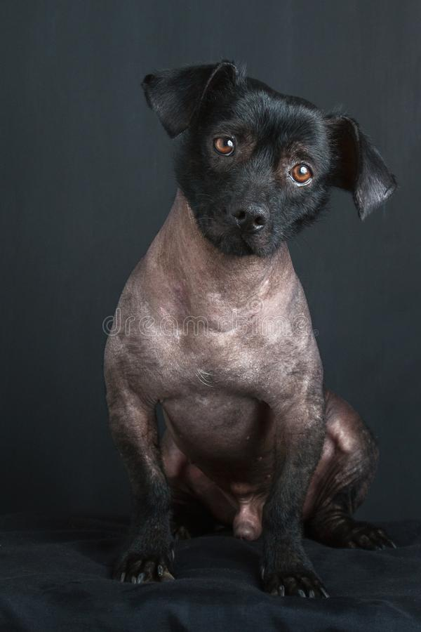 混杂的秘鲁狗画象  库存照片