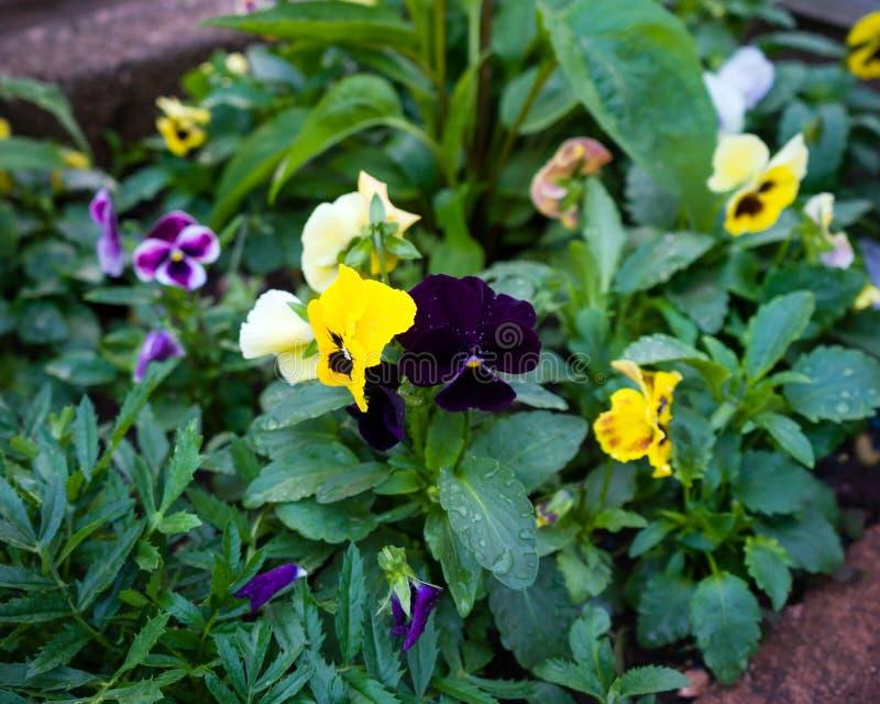 混杂的蝴蝶花在庭院花床上在庭院里 库存照片