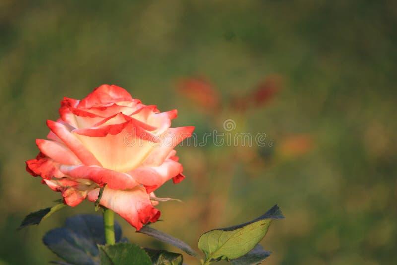混杂的颜色一朵相当五颜六色的玫瑰  免版税库存图片