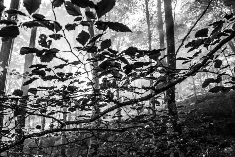 清早在森林,薄雾和光束通过树美妙地发光, 免版税库存照片