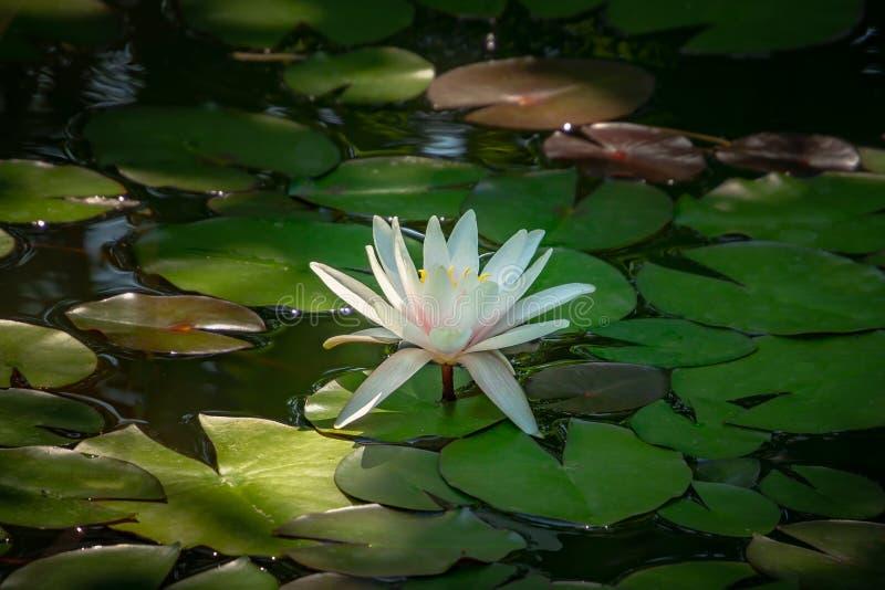 清早浪端的白色泡沫百合或莲花Marliacea Rosea 星莲属在它的深绿叶子上上升 免版税库存图片