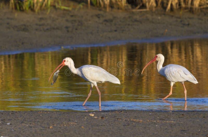 清早钓鱼在一个浅湖的美国白色朱鹭(Eudocimus albus) 库存图片