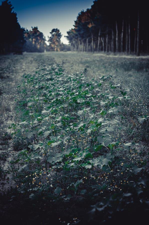 清早黎明在高大的树木中的一块森林沼地 太阳在树和草仍然落 深绿背景 春黄菊 免版税库存照片