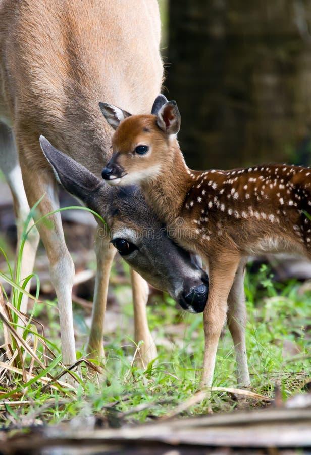 清洁母鹿讨好她的年轻人 免版税库存图片