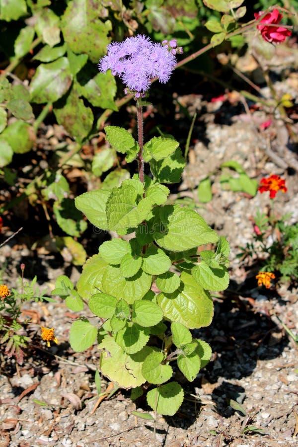 清洁牙齿有软软地长毛的词根的花或藿香蓟属houstonianum唯一植物和模糊的装缨球蓝色对紫罗兰色花 库存图片