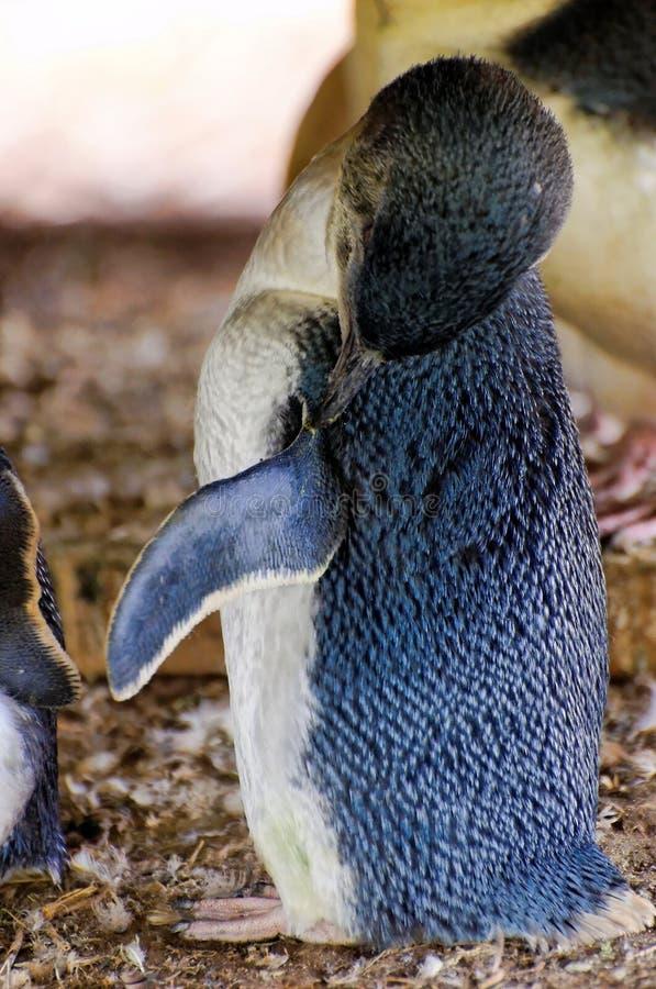清洗小的企鹅 库存照片