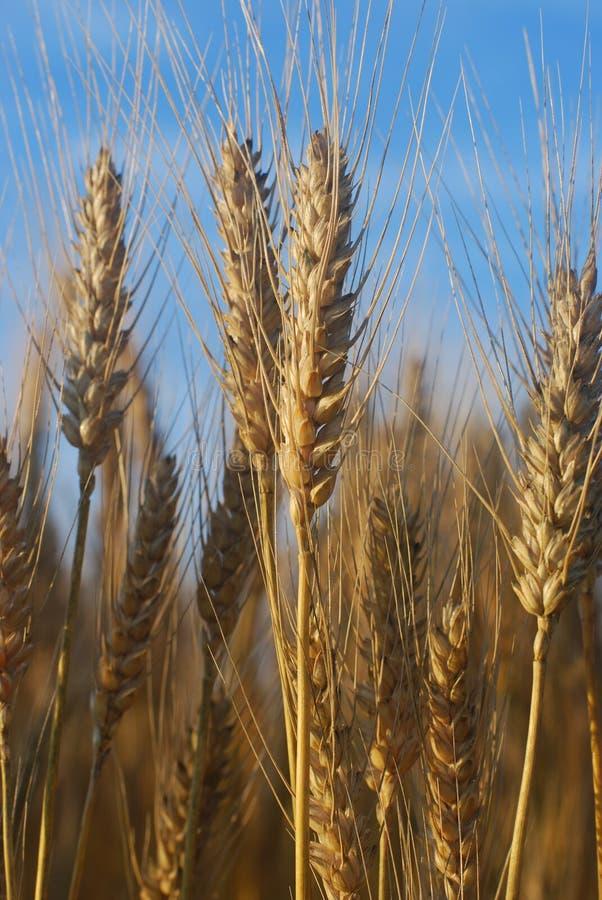 清淡的早晨麦子 库存图片