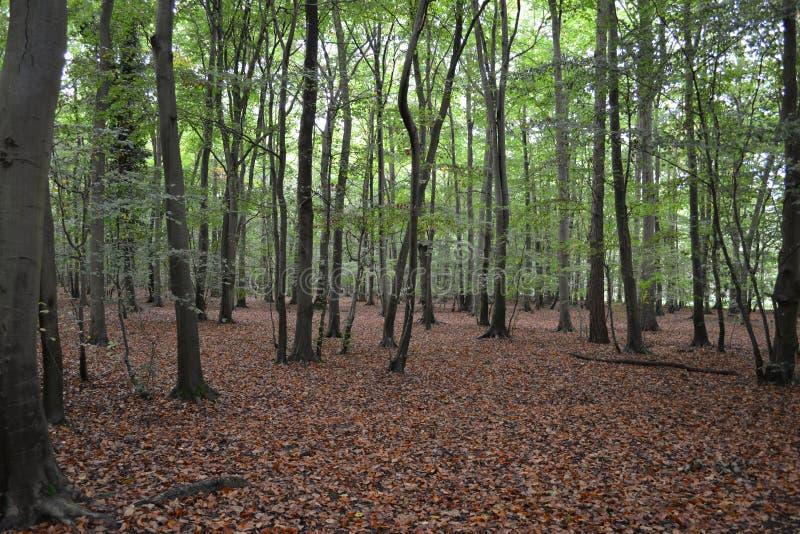 清除在杉木森林里 免版税库存照片
