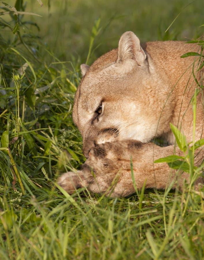 清洗他的爪子的美洲狮 库存照片