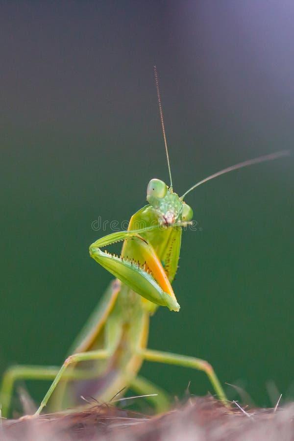 清洗他的脚的螳螂 免版税库存照片