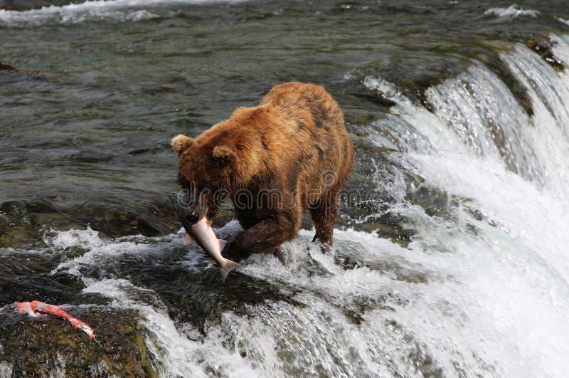 渔北美灰熊 免版税库存照片