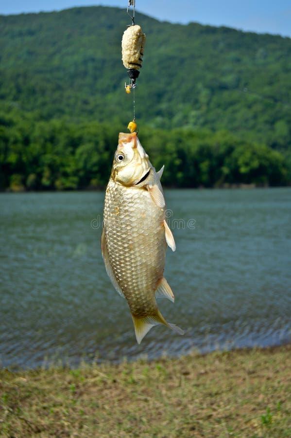 渔夫捉住了从湖的鲤鱼 免版税图库摄影