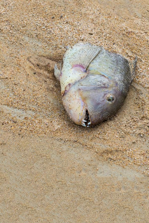 渔村保持处理鱼头反对沙子背景  在海洋的岸的可怕发现 免版税库存照片