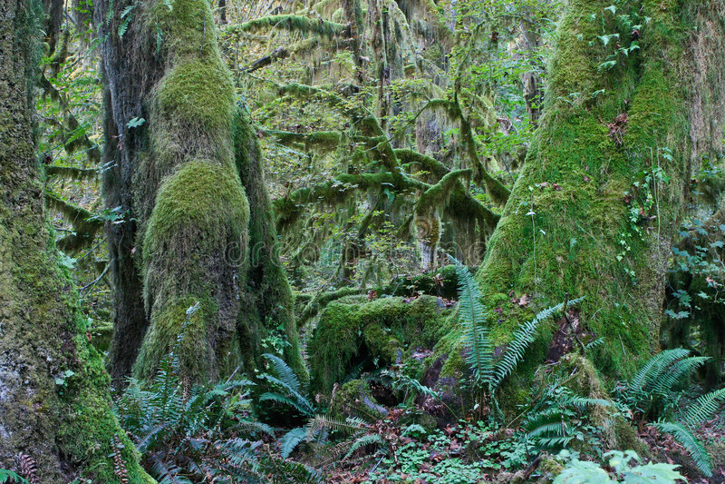 温和西北和平的雨林 库存图片