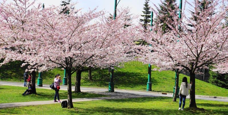 温哥华居民和游人在温哥华拍照片并且享用日本樱桃树开花在著名史丹利公园,BC,C 免版税库存图片