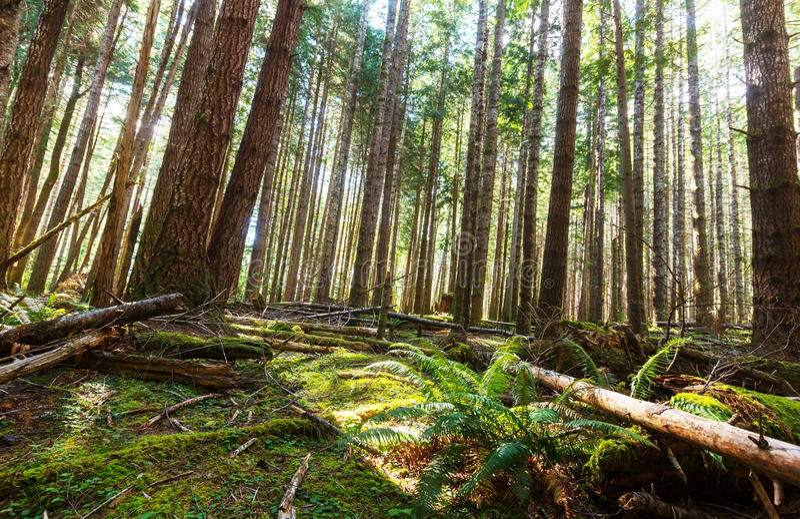 温哥华森林 免版税库存图片