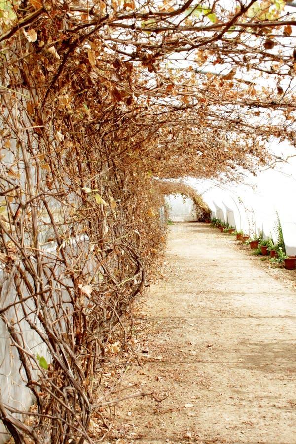 温室干燥藤和道路有盆的植物的 图库摄影