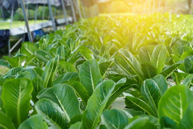 温室生长莴苣 水耕的菜 免版税库存照片