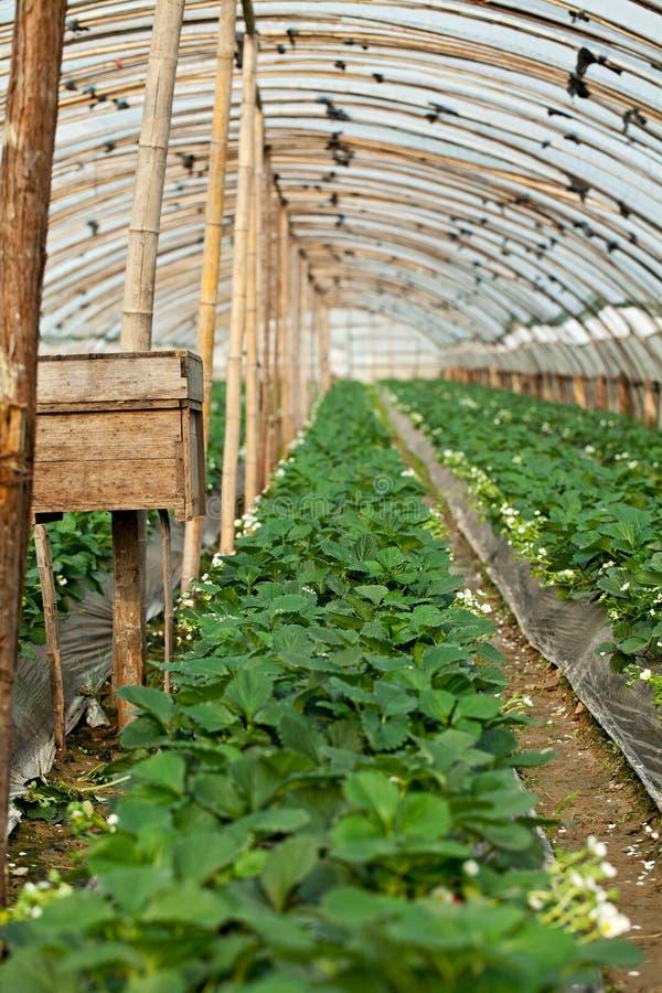 温室草莓 免版税库存图片