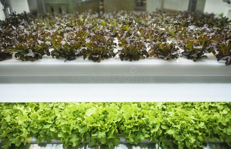 温室菜厂行增长与被带领的轻的室内农厂农业 免版税库存照片