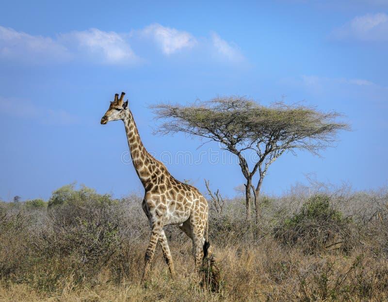 温文地横渡大草原的高长颈鹿 免版税库存照片