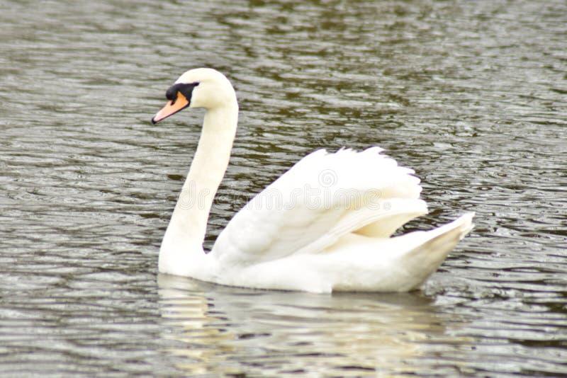 温文地游泳在水中的天鹅 免版税库存图片