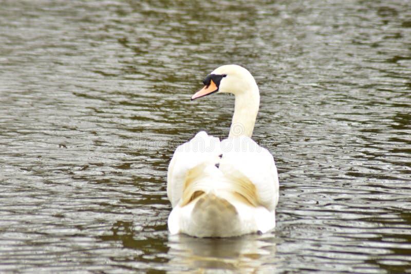 温文地游泳在水中的天鹅 免版税库存照片