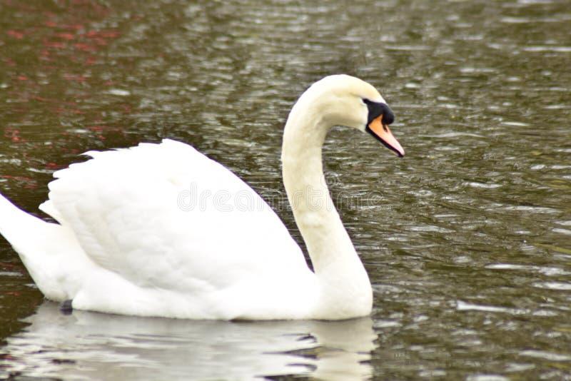温文地游泳在水中的天鹅 免版税图库摄影