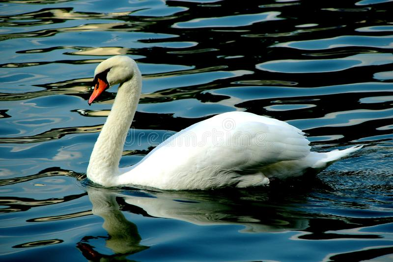 温文地游泳在波浪的一只美丽的白色天鹅 免版税图库摄影
