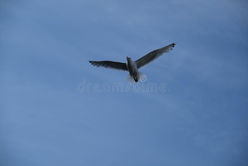 温文地潜水在天空蔚蓝的海鸥 库存照片