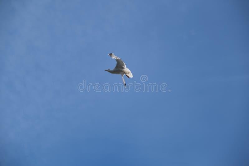 温文地潜水在天空蔚蓝的海鸥 免版税库存照片