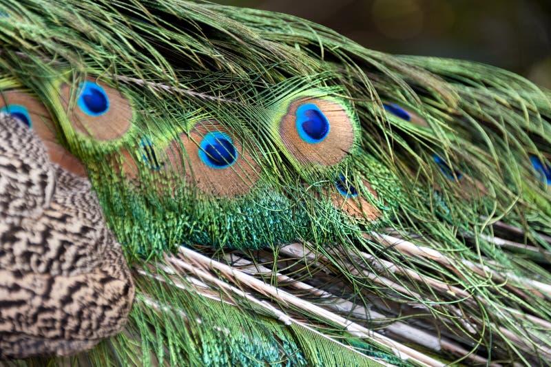 温文地炫耀的孔雀 库存图片