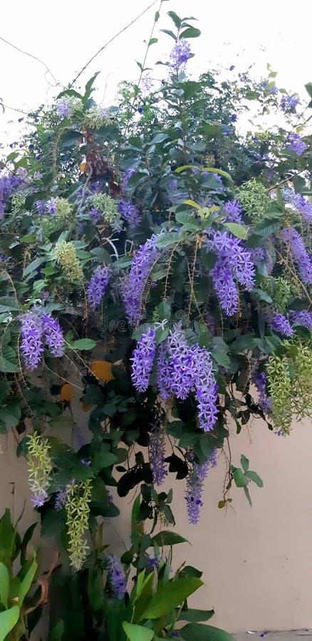 温文地站立在墙壁附近的一个紫色花圈 库存照片