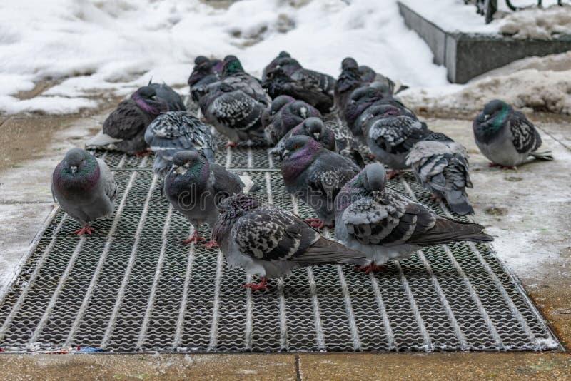 温暖的一个小组鸽子在一个城市边路花格在冬天 库存照片