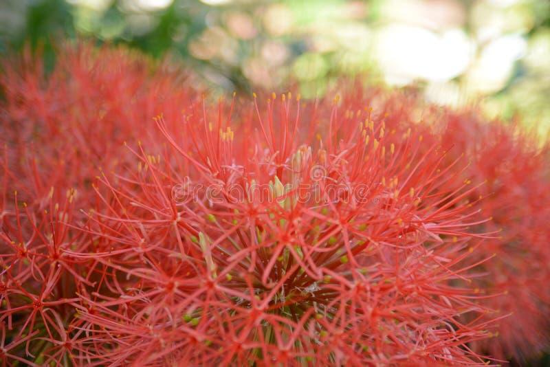 温暖的红色粉扑百合花 图库摄影
