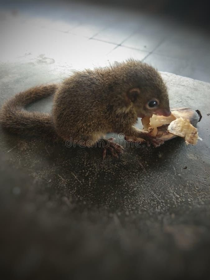 温驯的小的灰鼠在手上 免版税库存照片