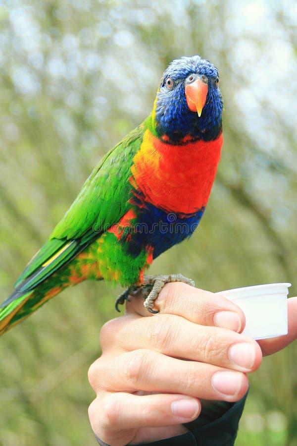 温驯的彩虹鹦鹉的图片坐手和饮用的花蜜 免版税图库摄影