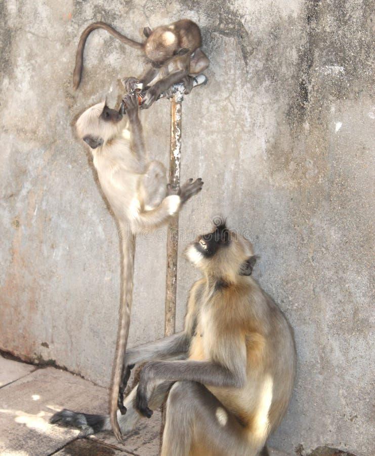 渴夏天的灰色叶猴是相当地球的,居住森林、开放轻地树木繁茂的栖所和市区在 免版税图库摄影