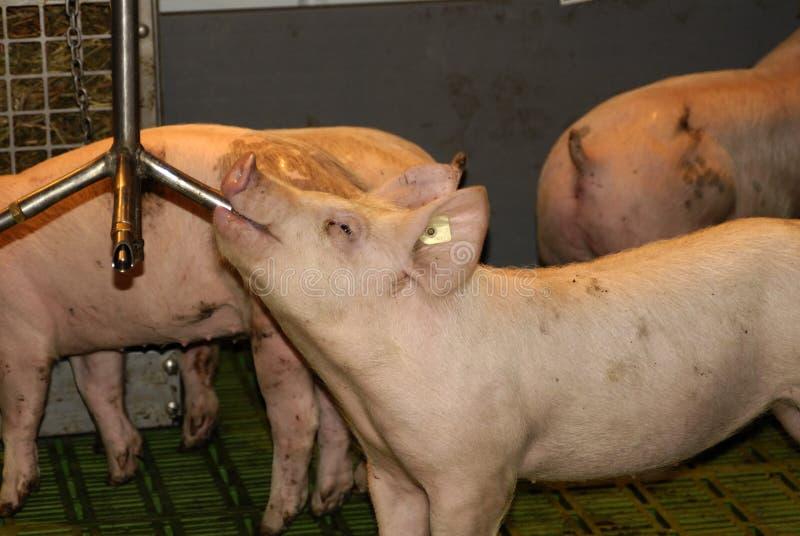渴的猪 图库摄影
