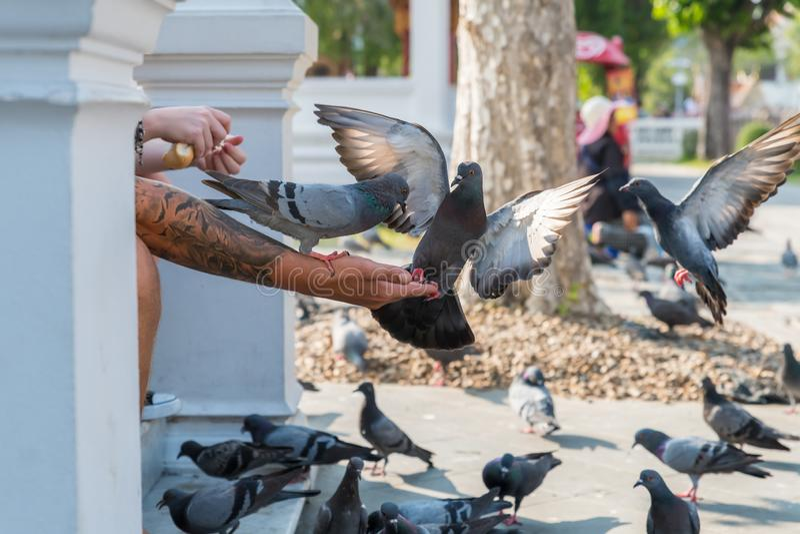 游人喂养友好的鸽子 免版税图库摄影