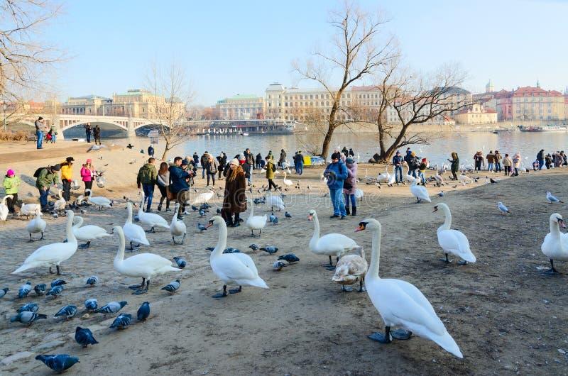 游人喂养在伏尔塔瓦河河河岸的天鹅在冈马海岛,布拉格,捷克上的 库存照片