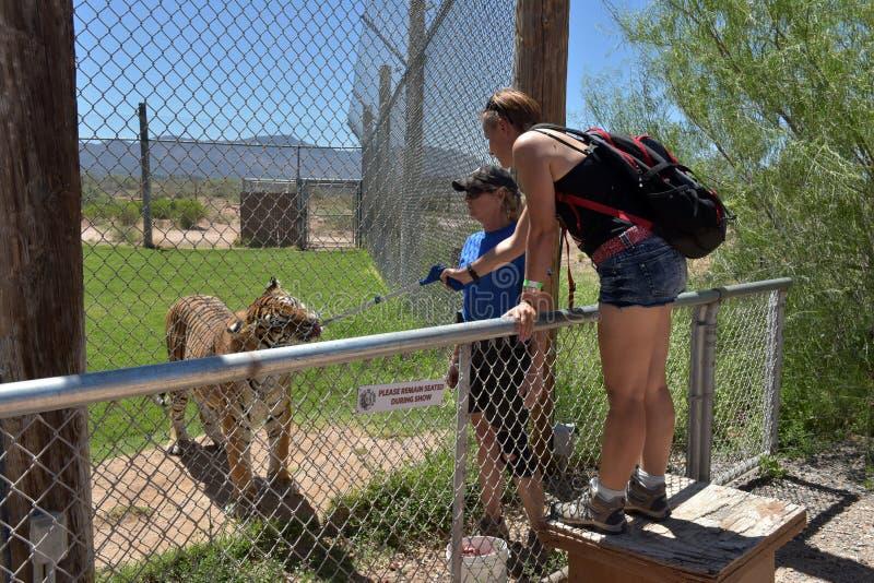 游人喂养老虎在看守者的照料下在野生生物公园 免版税库存照片