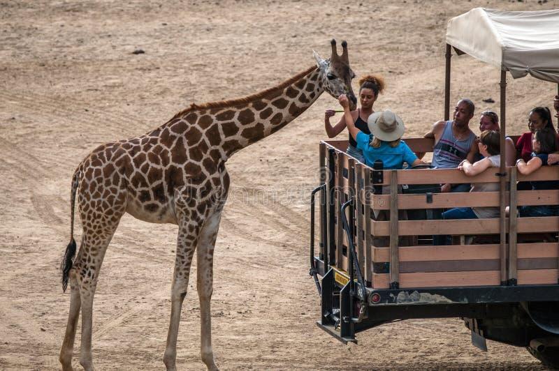 游人轮流喂养长颈鹿在有蓬卡车游览时 免版税图库摄影