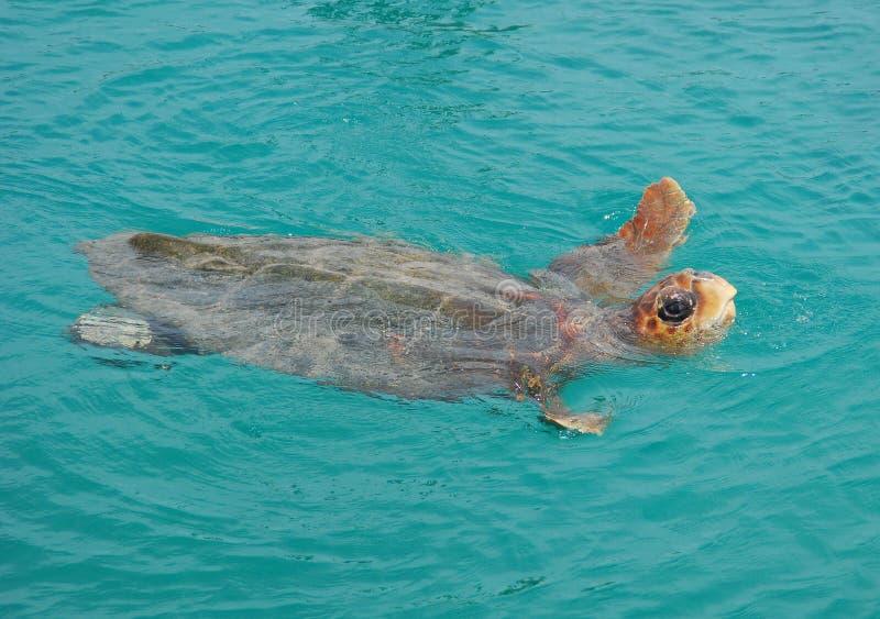 游泳乌龟 库存照片
