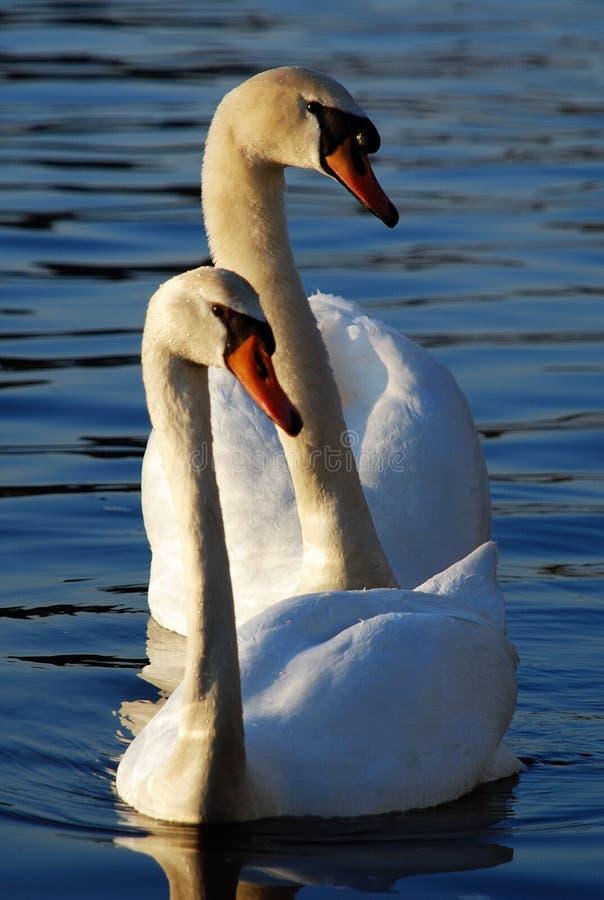 游泳二白色的天鹅 免版税库存照片
