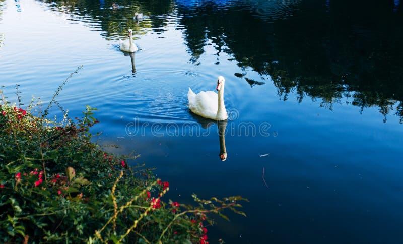 游泳二的天鹅 库存照片