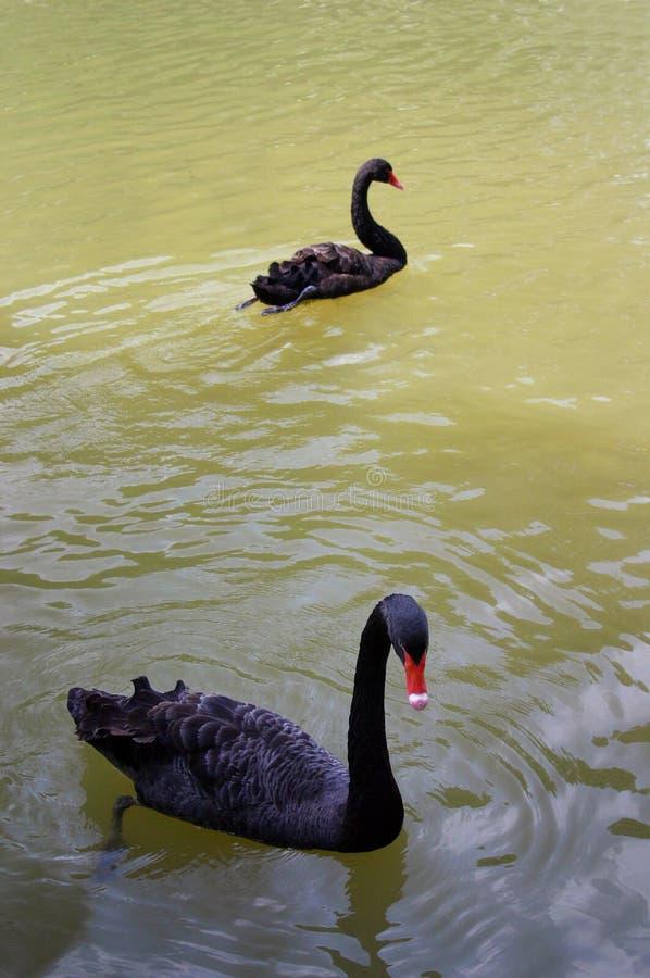游泳二的黑天鹅 库存图片